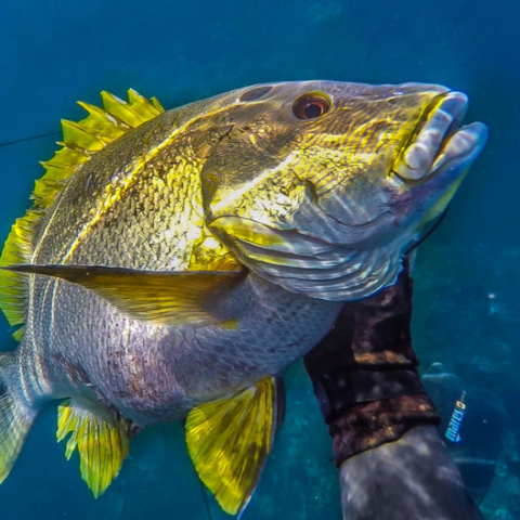Bali Spearfishing Maori Seaperch