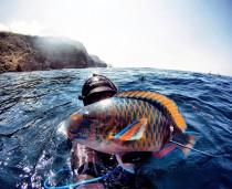 Bali Spearfishing Parrotfish
