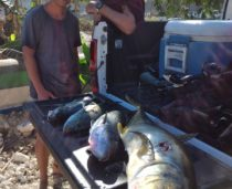South Bali Spearfishing Golden Trevally and Green Jobfish